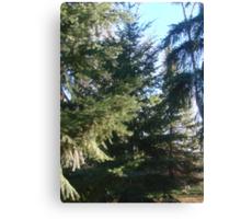 Coniferous Evergreen Canvas Print