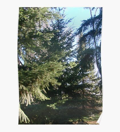 Coniferous Evergreen Poster