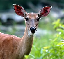 Whitetail Deer on the Blue Ridge Parkway by Tara Johnson
