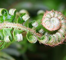 Emerging Fern Frond by Laurel Talabere