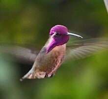 HUMMINGBIRD COSTA IN FLIGHT by JAYMILO