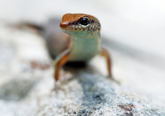 Little Skink by Jules Campbell