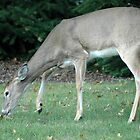 White Tail  by Paul Gitto