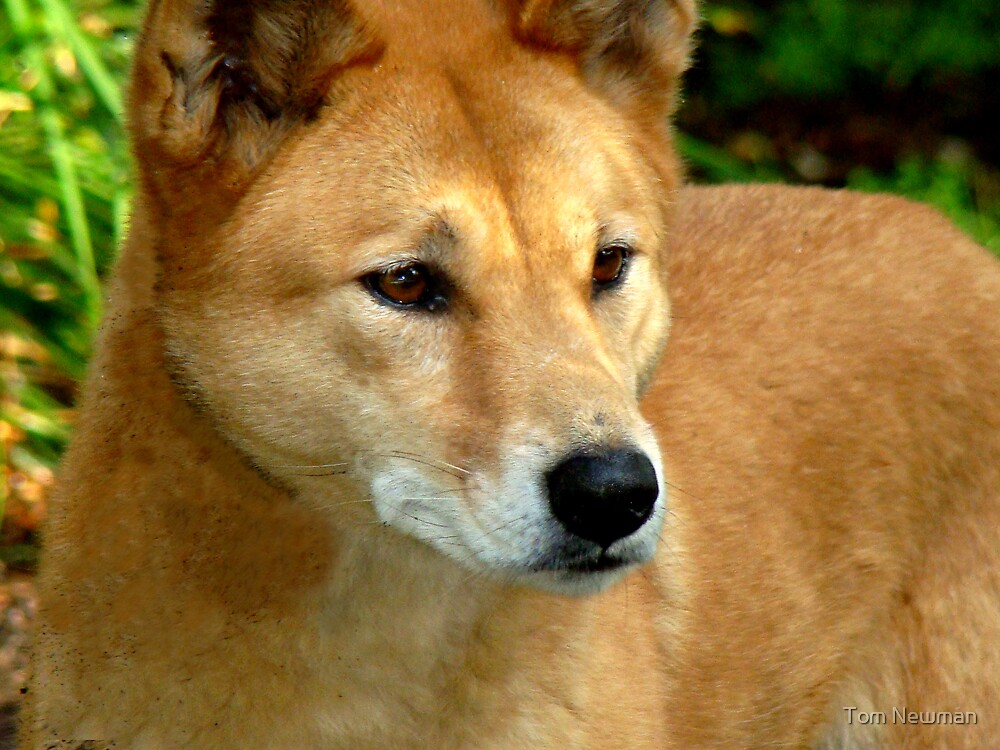 Dingo  by Tom Newman