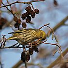 Alder Tree & Siskin by Robert Abraham