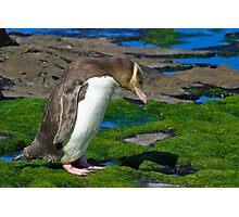 Yellow-eyed Penguin Photographic Print