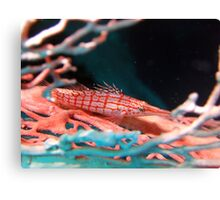 Long Nosed Hawkfish Canvas Print