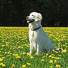 Ditte in a field of dandelion by Trine