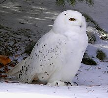 The Snowy Owl by madmac57