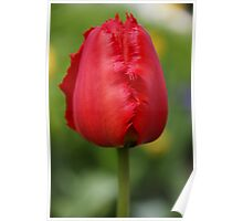 Red Parrot Tulip Poster