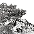 Torrey Pine Tree by Rd Riccoboni by RDRiccoboni