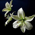 White Lilies by Sandy Keeton