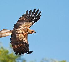 Whistling Kite in Flight by Nickolay Stanev