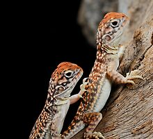Central Netted Dragons [Ctenophorus nuchalis] by Shannon Benson