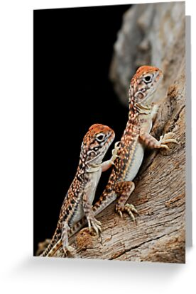 Central Netted Dragons [Ctenophorus nuchalis] by Shannon Wild