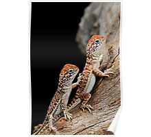 Central Netted Dragons [Ctenophorus nuchalis] Poster