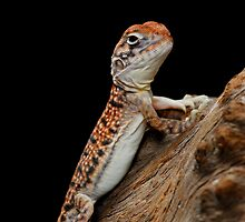 Central Netted Dragon [Ctenophorus nuchalis] by Shannon Benson