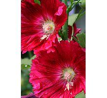 Red Hollyhocks Photographic Print