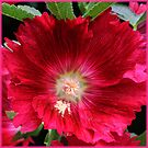 beautiful crimson - hollyhock by picketty