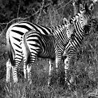 Zebra by Kevin Jeffery