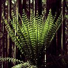 Tree fern, Mt Donna Buang near Ben Cairn by Elaine Stevenson