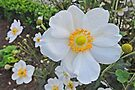 Matilija Poppy at Alden Biesen  by Graeme  Hyde