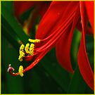 beautiful scarlet- jacobean lily by picketty