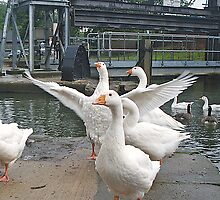 Emden Geese by AARDVARK