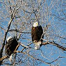 Two very cold Bald Eagles - 8176 by BartElder