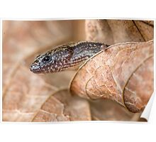 Worm skink Poster