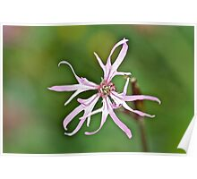 Ragged Robin Poster