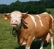 Cow in Upper Bavaria by Klaus Offermann