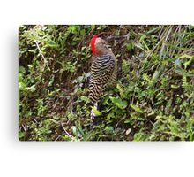 West Indian Woodpecker Canvas Print