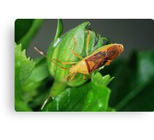 'Insect?' Canvas Print