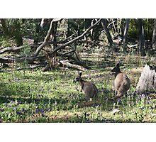 Kangaroos in the bush. Photographic Print