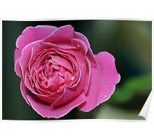 Rose of Wanda Poster