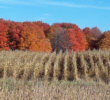 Harvested corn in Michigan Fall by revdrrenee