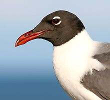Laughing Gull by Karl R. Martin