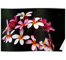 Pink Frangipani-Orton Effect-9736 Poster