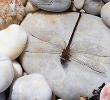 Dragonfly on pebble by Joshua Rablin