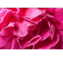 Pink Rose Photographic Print