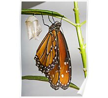 Queen Monarch and her chrysalis Poster