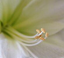 Amaryllis  by Sandy Keeton