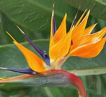 Bird of Paradise II by Don Wright
