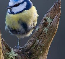 Blue Tit by Neil Bygrave (NATURELENS)