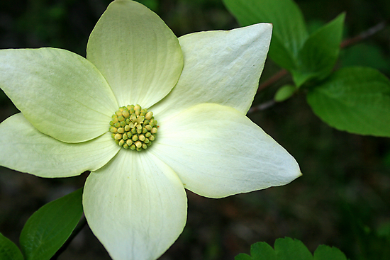 Dogwood Flower by Harry Snowden