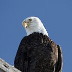 Bald Eagle - 8258 by BartElder