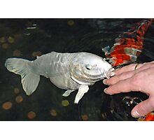 Kiss of a Koi carp Photographic Print