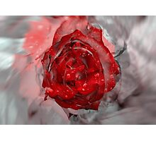 Red rose and grey background Photographic Print