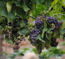 Grapes by franceslewis